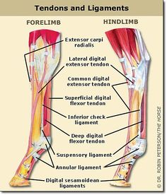 Equine anatomy - tendons & ligaments.