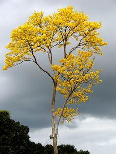 Lindo 'Ipê amarelo tree' no Sítio Terra Nova, em São Mateus - ES - Brasil