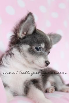 chihuahua+puppies+for+sale | ... chihuahua puppies for sale in south florida chihuahua puppies for sale