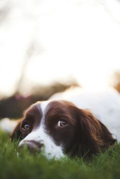 cute face eyes springer spaniel