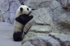 This is a selection of some of the most amazing Panda photographs out there. Will definitely make you to want to become a Panda yourself! most of them from the Panda Research Base in Chengdu.