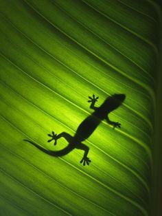 Print of Silhouette of gekko