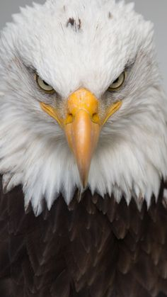 Animal, Bald Eagle, Birds, Eagles Mobile Wallpaper A Eagle Wallpaper, Animal Wallpaper, Mobile Wallpaper, Wallpaper Ideas, Eagle Images, Eagle Pictures, Beautiful Birds, Animals Beautiful, Aigle Animal