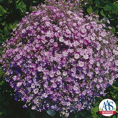 Gypsophila Gypsy Deep Rose- 2004 AAS Bedding Plant Winner - Gypsy Deep Rose is an annual G. muralis with dainty, rose-like blooms. Sun And Water, Blooming Rose, Growing Seeds, Gypsophila, Small Space Gardening, Plant Needs, Flower Seeds, Green Plants, Cut Flowers