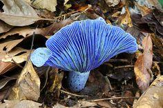 Nature and more: The Indigo Milk Cap: an edible blue beauty...