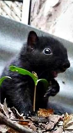 A Black Squirrel Hamsters, Rodents, Black Animals, Animals And Pets, Funny Animals, Cute Animals, Black Squirrel, Cute Squirrel, Beautiful Creatures