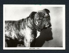1925-BULLDOG PATTREIOUX JUNIOR MEMBER ANIMALS & SCENES LARGE DOG CIGARETTE CARD #2
