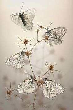 Butterflies.#Repin By:Pinterest++ for iPad# Animals Beautiful, Beautiful Bugs, Beautiful Creatures, Beautiful Butterflies, Simply Beautiful, Beautiful Flowers, Beautiful Beautiful, Pretty Birds, Beautiful Things