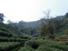 Long Jing tea garden, in Long Jing outside of Hangzhou, China
