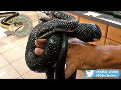 Black Rat, Rat Snake, Reptile Room, Snakes, Rats, Funny Animals, Michigan, Meet, Reptiles