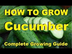Cucumber Plant Maintenance: Nutrients, Disease and Pests - The Rusted Garden 2013 - YouTube