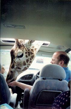 sweet giraffe♥