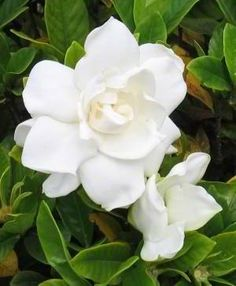 Sweet smell of the south gardenia my favorite flower i was my great grandma loved gardenias mightylinksfo