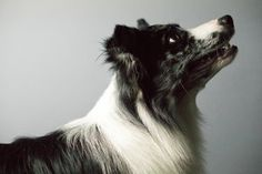 border collie, herding dog, pet photography