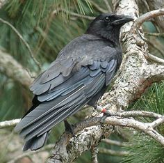 American Crow Identification, All About Birds, Cornell Lab of Ornithology American Crow, Dark Wings, Raven Art, Raven Tattoo, Jackdaw, Crows Ravens, Photo Viewer, Backyard Birds, Animal Totems