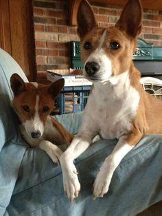 Basenji's love these dogs