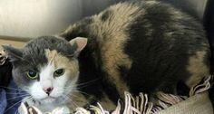 """MOVED TO BOARD NOV 8>OUT OF TIME!!  NAME: Bitsy  ANIMAL ID: 24190618 BREED: DSH  SEX: Spayed Female  EST. AGE: 4 yrs  Est Weight: 12.15 lbs Health:  Temperament: friendly-Scared  ADDITIONAL INFO: O/S """"Because she fights with their older cat"""" RESCUE PULL FEE: $39"""