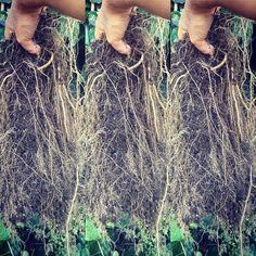 Las raizes del Cannabis son ramificadas y largas formando un enmarañado de pelos. Son usadas para la cura de diversas enfermedades #amazonsecretsspa #terapiasnaturales #buenosaires #puntadeleste #sheilafarah #cannabis #raices https://www.instagram.com/amazonsecrets/ http://amazonsecretsspa.com/ www.amazonsecretsspa.com