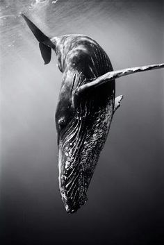Diving Humback Whale, so big yet so small in the ocean! Amazing