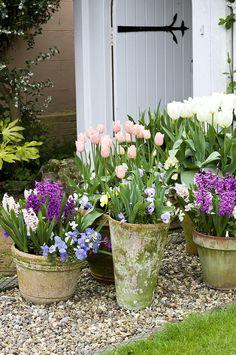Tulipanes y Jacintos en maceta