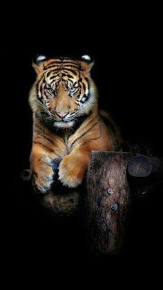 Artistic-realistic nature — 💙 Hutan (one year old Sumatran Tiger) on by. Animals And Pets, Funny Animals, Cute Animals, Tiger Pictures, Animal Pictures, Beautiful Cats, Animals Beautiful, Chat Lion, Animal Original