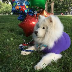 Furociously planning my 13th Birthday Pawty! (party details in bio link http://ift.tt/2qSwWMr) Because SamUrgency was so generous in covering a huge portion of my surgery bills last year (btw I'm 6 months cancer-free!) I'm hoping to raise enough funds to start the Pawsitively Pawesome Charity organization AND have our first donation go to SamUrgency so that SamUrgency can continue helping Samoyed rescues all over the U.S. with their medical bills. I hope you can help make our Pawsitively…