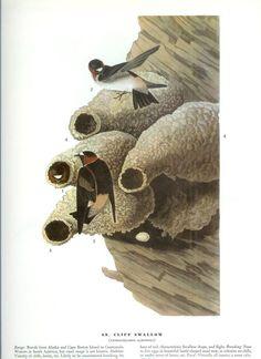 John James Audubon Bird Print  Cliff Swallow  Vintage by Holcroft, $10.00
