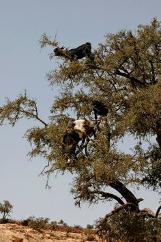 Now That's Just Crazy Talk: Goats Like Hikes