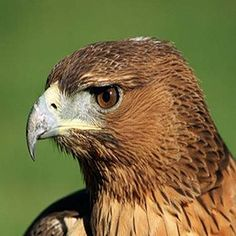 Aves rapaces de calendario | Medio Ambiente