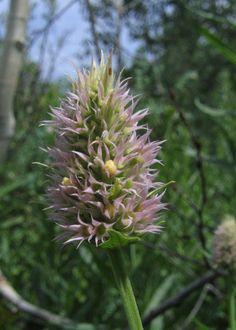 Agastache_urticifolia_wpadgett.jpg (571×800)