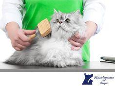 Cepilla a tu gato. LA MEJOR CLÍNICA VETERINARIA DE MÉXICO. Los gatos de pelo largo necesitan especial cuidado y dedicación. Se puede comenzar a cepillar al gatito desde los dos meses. Para él será un sustituto de las caricias de su madre, quien lo lame al nacer para limpiarlo y peinarlo. Por lo tanto, la mejor forma de cepillar a un gato es acariciarlo tras pasar el cepillo. En Clínica Veterinaria del Bosque contamos con médicos expertos para atender a tu mascota. #veterinariadelbosque