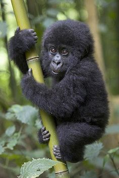 Gorillas are threatened by palm oil production in the Congo Basin, find out more: http://www.rainforestfoundationuk.org/crumbs