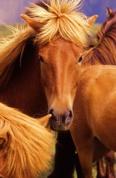 Portrait of an Icelandic horse. Types Of Animals, Animals Of The World, Cute Horses, Horse Love, All Gods Creatures, Cute Creatures, All The Pretty Horses, Beautiful Horses, Icelandic Horse