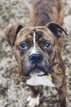 American Bulldog/Boxer Mix Dog for adoption in Cleveland