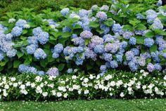 Hortensien blau
