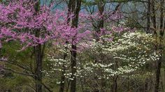 The Redbud tree reminds me of my grandmother