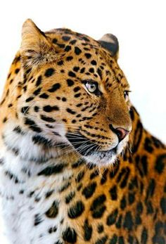 """bigcatkingdom: """"Leopard looking on the side (by Tambako the Jaguar) """" Nature Animals, Animals And Pets, Cute Animals, Big Cats, Cool Cats, Beautiful Cats, Animals Beautiful, Chat Lion, Grand Chat"""