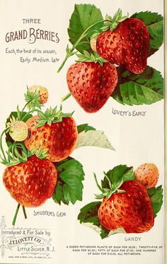 Page from 'Lovett's Illustrated Catalogue of Fruit and Ornamental Trees and Plants for the Autumn of showing 'Three Grand Berries' - 'Lovett's Early', 'Shuster's Gem' and 'Gandy.' Introduced & for sale by J. Lovett Co. Little Silver. Strawberry Seed, Strawberry Garden, Strawberry Drawing, Strawberry Glaze, Strawberry Fields, Scrapbook Paper Crafts, Scrapbooking, Vintage Seed Packets, Grey Wall Art
