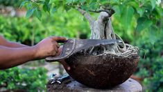 | Ficus Rumphi informal upright style Bonsai poting and pruning system |... Mini Plants, Bonsai Garden, Ficus, Pomegranate, Picture Video, Garden Sculpture, Cool Pictures, Channel, Trees