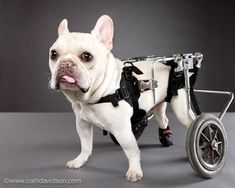 7 inspiring dogs from the 'Pets With Disabilities' project