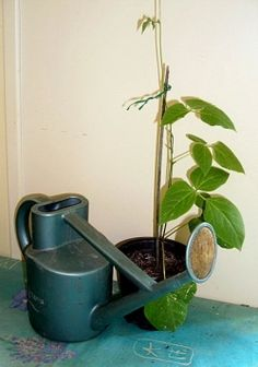 How to Grow Runner Beans  some handy hints