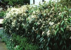 Evergreen clematis armandii (can be trained onto a trellis)