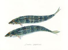 "Scomber japonicus / Chub mackerel / ""Masaba"" (マサバ Scomber japonicus: uonofu 魚の譜から)"