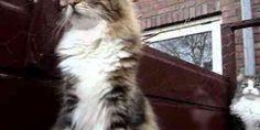 Noorse Boskat is een oud kattenras. In het wild leven in Noorwegen en Zweden nog Noorse boskatten.