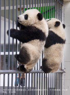 Panda's Prison Break