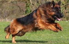 Resultado de imagen para long haired alsatian dog