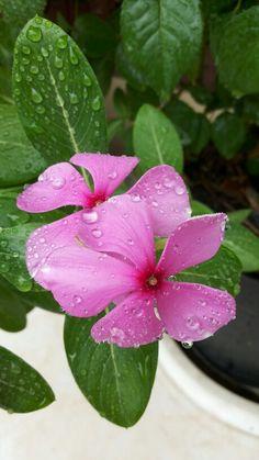 Beautiful Rain drops on pink flowers