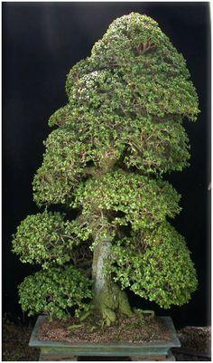 JPB:Bonsai Collection4 |Kintall: PORTULACARIA AFRA ( JADE BONSAI ) - GALLERY