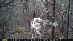 Piebald deer it's a mix between albino and normal Ross buerger