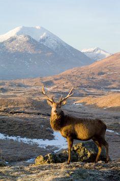 Red Deer (Cervus elaphus), male or stag in Glen Garry, Scotland, standing in front of Sgurr Mor metres) Wild Creatures, Woodland Creatures, Patagonia, Scottish Animals, Photo Animaliere, Deer Family, British Wildlife, Red Deer, England And Scotland